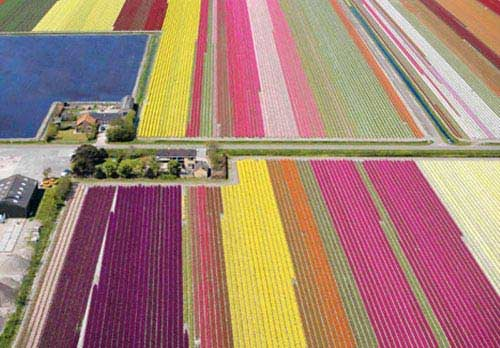 Stunning Dutch Tulip Farms