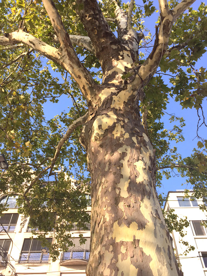 Sycamore Tree - A Crafter's Best Friend