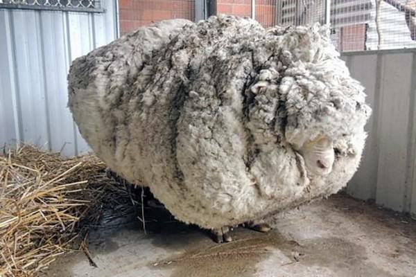 Lost merino sheep returns home wearing 89 pounds of wool